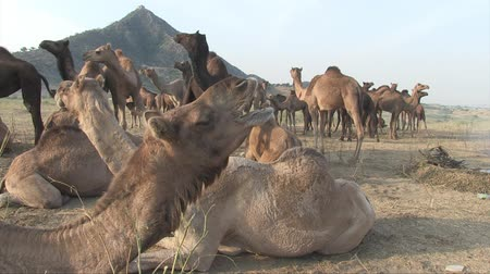herder : Pushkar, Rajasthan, India, November 2011: A large group of animals at the Camel Fair. Stock Footage