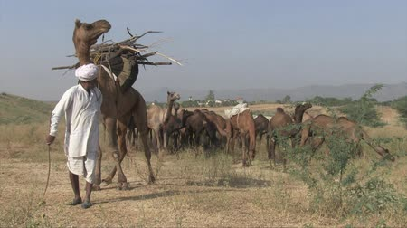 herder : Pushkar, Rajasthan India, November 2011: A shepherd drives his animals at the camel fair.
