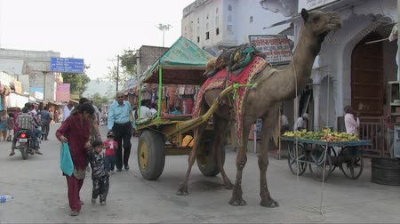 herder : Pushkar, Rajasthan, India, November 2011: A car with a large camel waiting for its owner on a street during the Camel Fair. Stock Footage