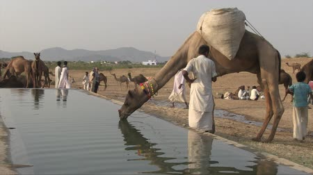 herder : Pushkar, Rajasthan, India, November 2011: A camel with his shepherd drinks water at the Camel Fair. Stock Footage