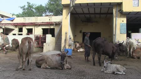 Delhi, India, November 2011: People working at a holy cows hospital.