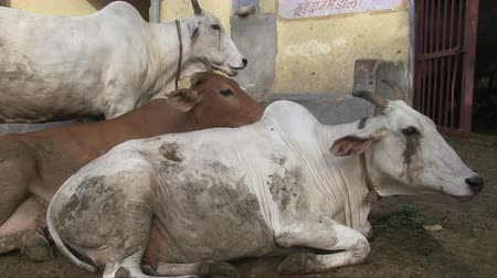 Delhi, India, November 2011: Animals resting in a sacred cow hospital. Filmati Stock