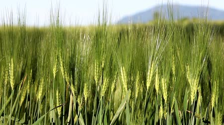 pszenica : Moving green wheat field