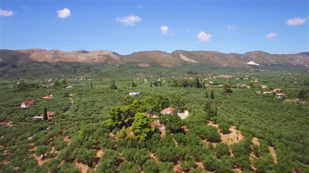 zante : 4K Aerial view of olive tree field in Zakynthos Zante island, in Greece Stock Footage