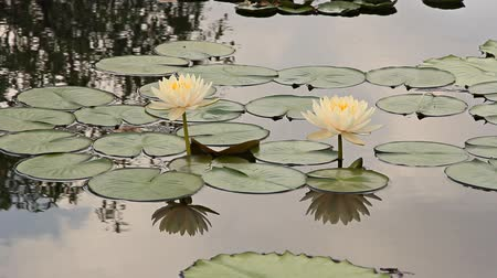 плавающий : lotus flower atop lily pads in a calm reflection pond Стоковые видеозаписи