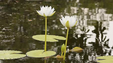 natural tranquil : Beautiful white lotus flower blossoming in the natural pond. Stock Footage