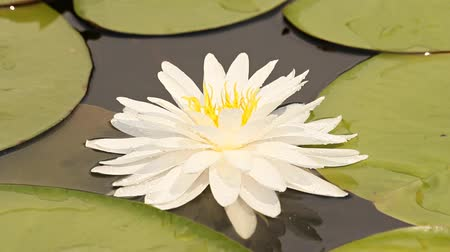 virágmintás : Beautiful white lotus flower blossoming in the natural pond. Stock mozgókép