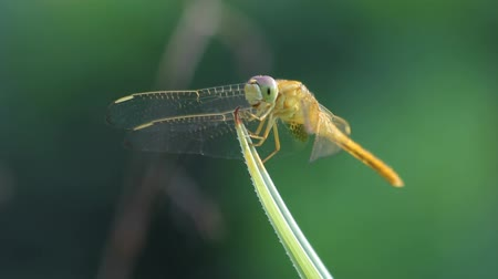 ważka : Yellow dragonfly perched on a blade of grass Wideo