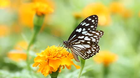 flower : Black butterfly with flowers and with green leaves. Stock Footage
