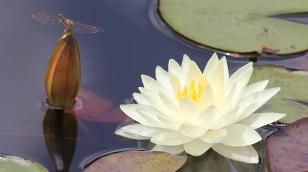 lilie : White lotus. Water lily with green leaves on the lake Dostupné videozáznamy