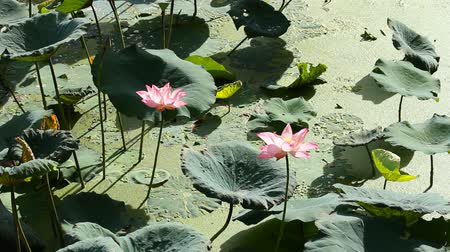 lilie : Red and white lotus in the pond.