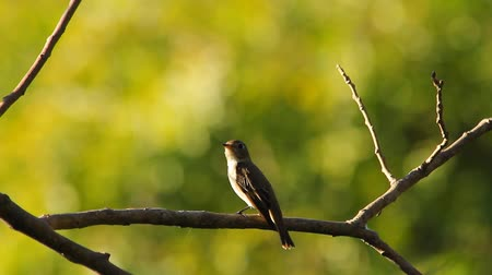 vida selvagem : Bird on a branch in a garden in the evening of the day. Vídeos