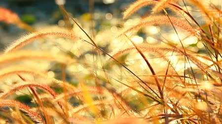 çim : Flower of the grass orange in the evening sun.(Two clips.)