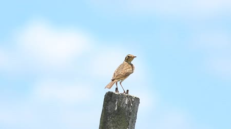 veréb : Brown bird with blue sky background.