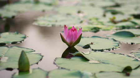 peaceful : Red lotus flower in the peaceful pond. Stock Footage