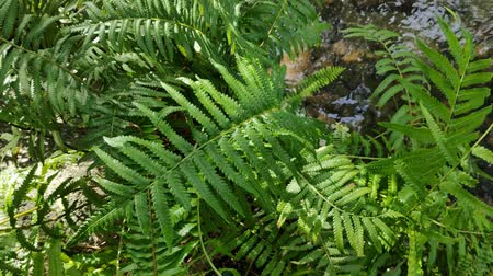 paproć : Green fern leaves In the natural garden. Natural background Wideo