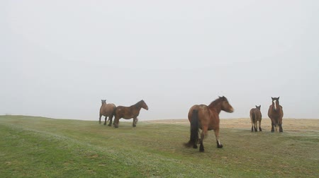 pónei : horses in fog four