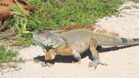 iguana : Iguana in Key West Stock Footage