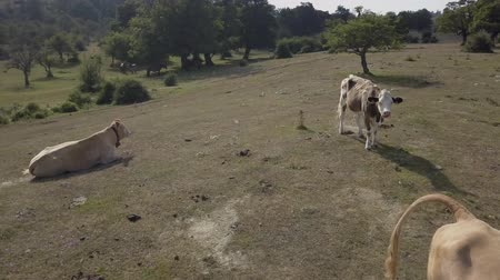 pastoral land : Cows in the field Stock Footage