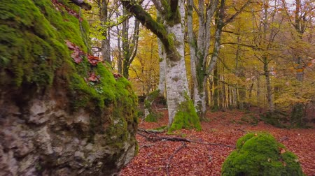 failed : Colored forest in autumn Stock Footage