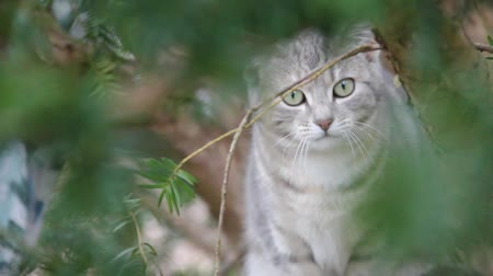 Feral cat sitting in tree, licking lips. Wideo