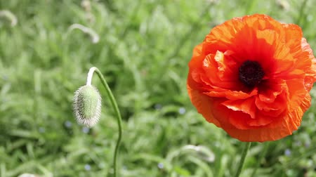Close up of a spring poppy, swaying in the wind.