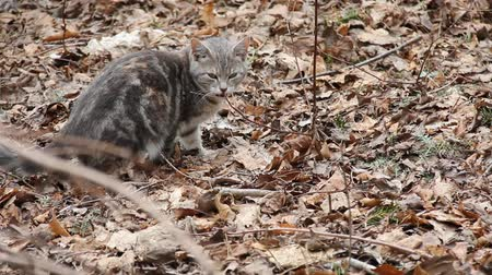 Feral cat sniffing in dried leaves.