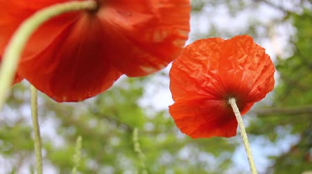 Spring orange poppies, shot from underneath, swaying in the wind. Wideo