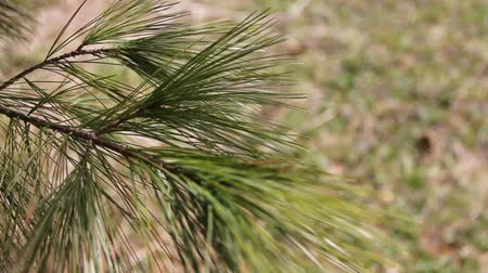 Pine Tree branch swaying in a spring breeze.