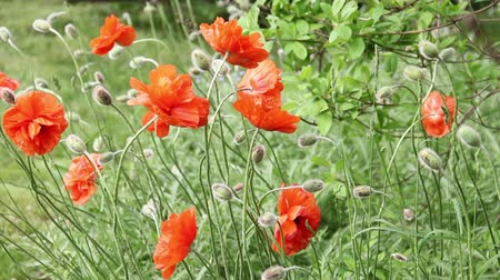 Orange poppies swaying in the wind.