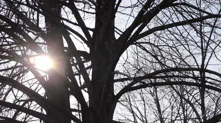 Spring sun through the branches of a bare linden tree.