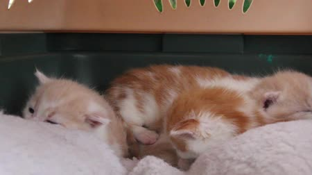 Four orange and white kittens, roughly 3 weeks old, together in cat carrier.