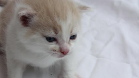 kotě : Baby kitten (about 6 weeks old), crying.