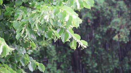 Down pour of rain on Linden tree. Wideo