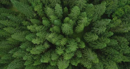 fresh air : 4k aerial photo of spruce tree forest in late summer