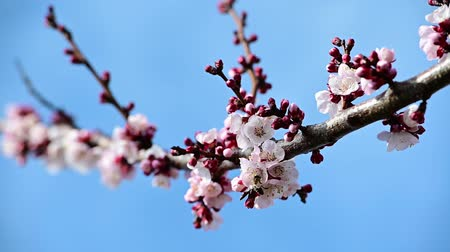 опылять : 1080 slow motion video of a honey bee polinate apricot blossom over blue sky background