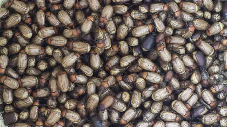 grotesque : lots of beetles Stock Footage