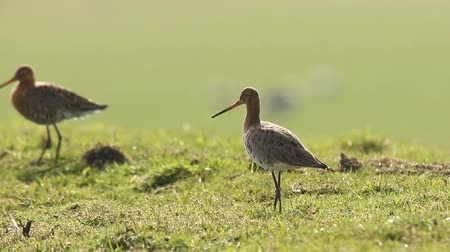 limosa : A black-tailed godwit Limosa Limosa Just returned for this season and walks elegantly on farmland with afternoon sunlight in front of him