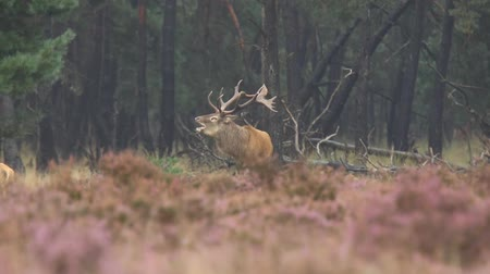 jelen : Male red deer Cervus elaphus rutting constantly breeding season. Its raining in the forest, the heather is blooming purple flowers.