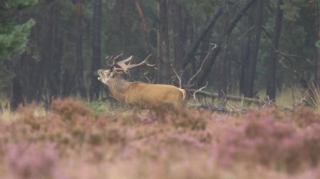 řev : Male red deer Cervus elaphus rutting constantly breeding season. Its raining in the forest, the heather is blooming purple flowers.