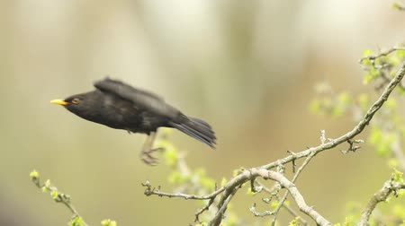 turdus merula : A male european Blackbird (turdus merula) singing in a tree in Spring season.