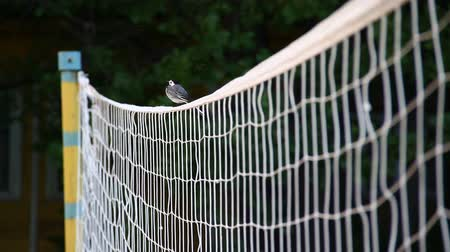 A Wagtail is sitting on the volleyball net Stock Footage