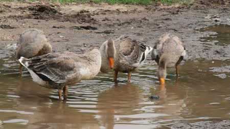 Geese looking for food in a puddle Stock Footage