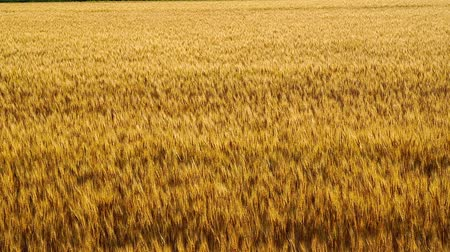 sklizeň : The wheat field of biei town Hill