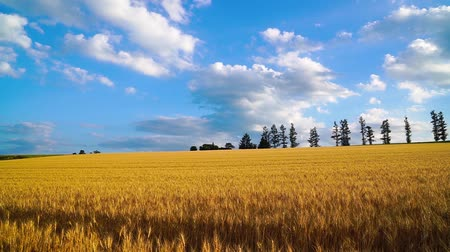lined : The wheat field of biei town Hill