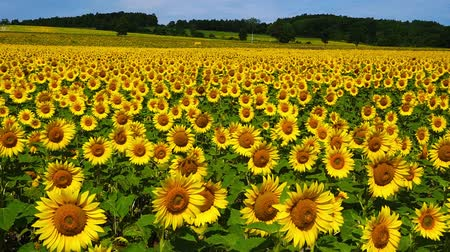 girassóis : In the sunflower field in Hokkaido, Japan Vídeos
