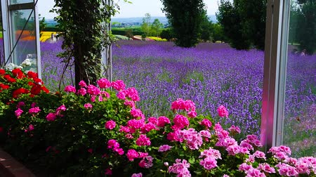 lavanta : The flower garden of Furano Stok Video