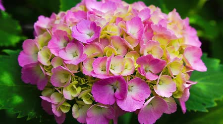 ortanca : Hydrangea in the wind