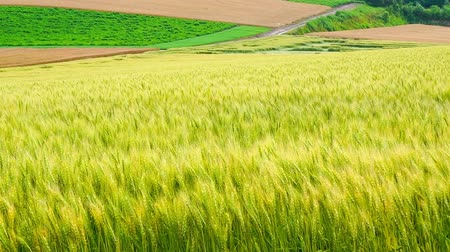 tourism : The wheat field of biei town Hill