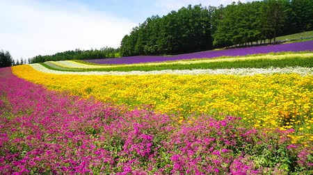 cultivation : Flower garden of Furano